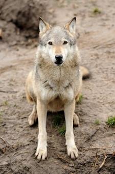Lobo de madera (canis lupus)