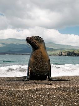 El lobo marino de galápagos en la isla de la plata, ecuador