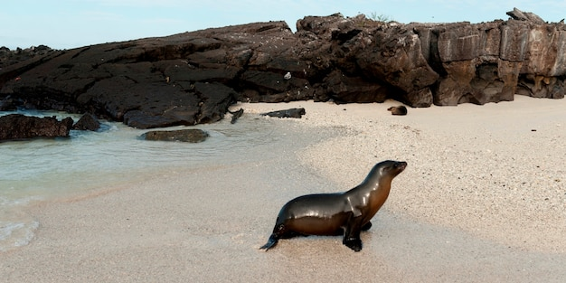Lobo marino de galápagos (zalophus californianus wollebacki), isla genovesa, islas galápagos, ecuador