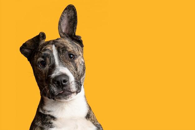 Loco atigrado american staffordshire terrier disparo en la cabeza aislado sobre fondo amarillo.
