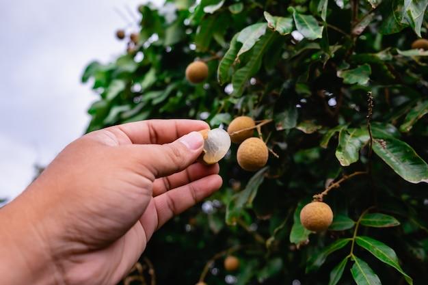 El longan pelado en mano con fondo de árbol longan