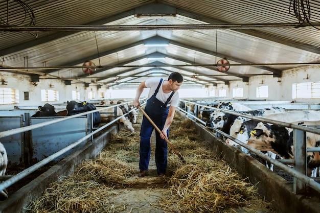 Longitud total de apuesto agricultor caucásico en la alimentación general de terneros con heno. interior estable.
