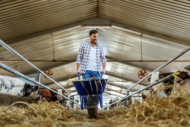 Longitud total de apuesto granjero caucásico en jeans y camisa a cuadros empujando la carretilla con heno y mirando las pantorrillas. interior estable.