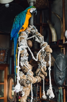 Loro azul y amarillo del macaw, pájaro exótico colorido de cola larga que se coloca en árbol con las cuerdas en el municipio de yuchi, condado de nantou, taiwán.