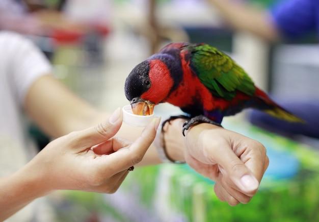 Loro colorido alimentándose en mano de las mujeres