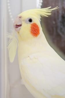 Loro corella con pluma en neb. concepto de muda de aves. vertical.
