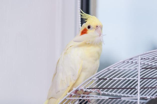 Loro corella está sentado en su jaula y sostiene su pluma.