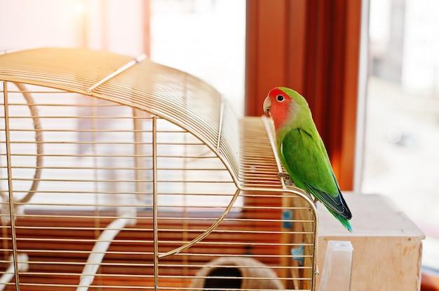Loro divertido del lovebird en la jaula grande en habitación con sol.