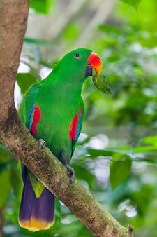 Loro eclectus verde sentado en la rama