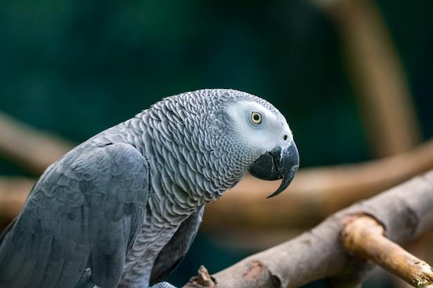 Un loro gris africano sentado en ramas de madera.