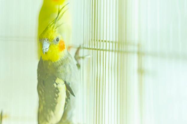 Loro negro con cabeza amarilla corella sosteniendo el borde de la jaula junto a otras aves