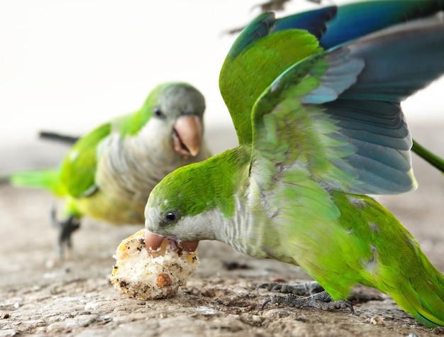 Loros luchando por comida
