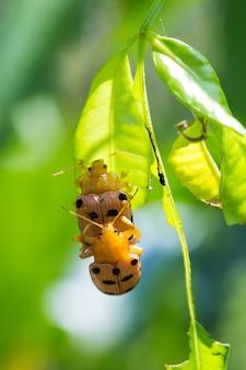 Los escarabajos están apareándose