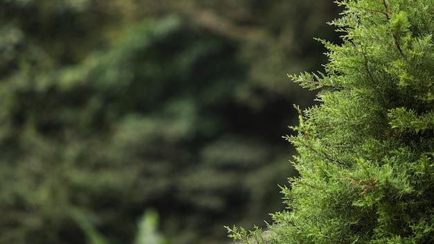 Сlose-up de una rama de un árbol conífero. bali. indonesia.