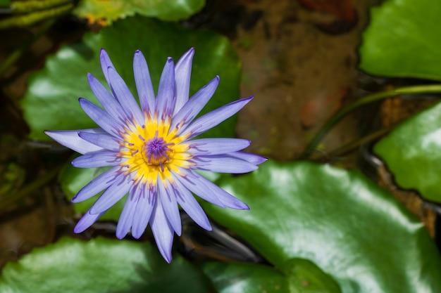 Loto amarillo azul y hoja verde en río natural