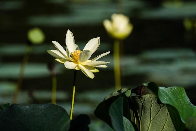 Loto blanco sagrado rodeado de vegetación con flores.