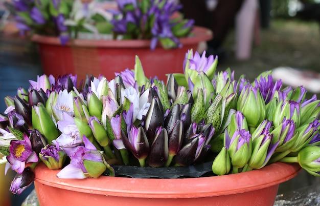Loto fresco en ciernes de color púrpura en golpe