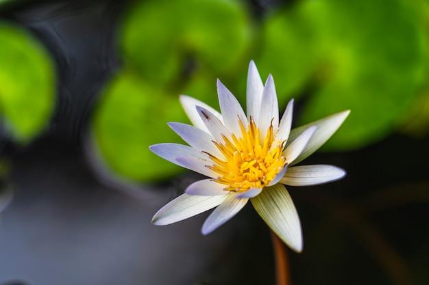 Loto morado blanco y polen amarillo.