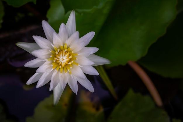 El loto en la naturaleza.