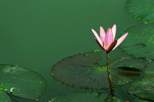 Loto rosa púrpura en tallo en estanque con follaje
