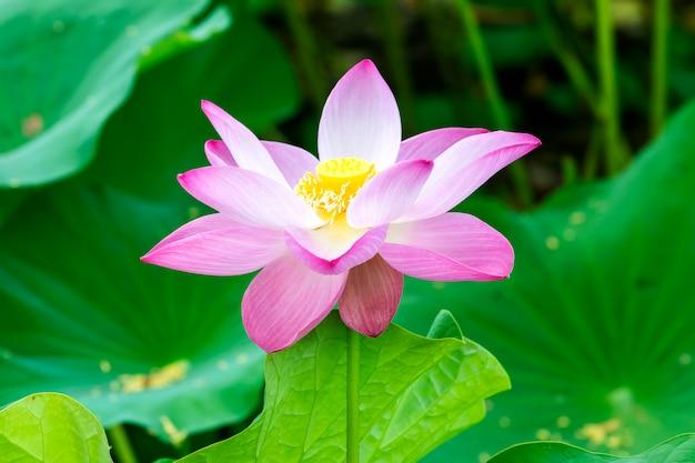 Loto rosa que crece en el estanque