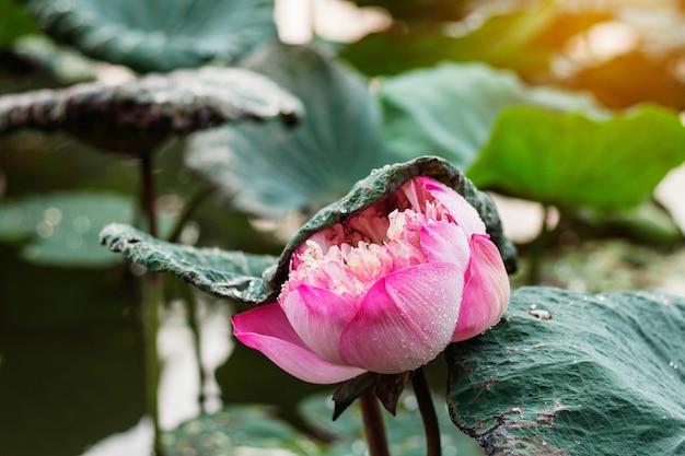 Loto rosa en la temporada de lluvias.