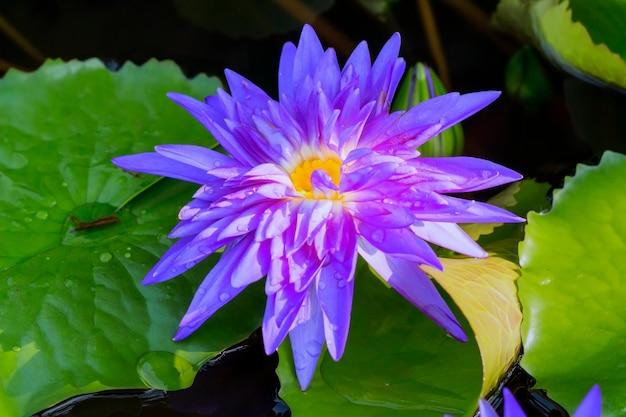 Loto violeta y gotas de agua en el estanque con fondo de agua