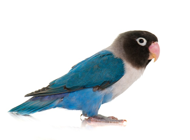 Lovebird de color azul