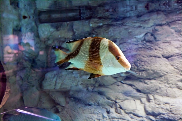 Lutjanus sebae, pargo emperador, es una especie de pargo nativa del océano índico y el océano pacífico occidental.