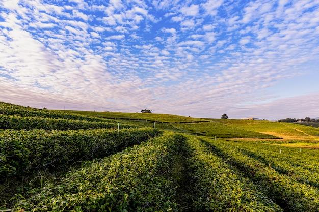 Luz de la mañana en la plantación de té verde choui fong, uno de los hermosos lugares de turismo agrícola en el distrito de mae chan