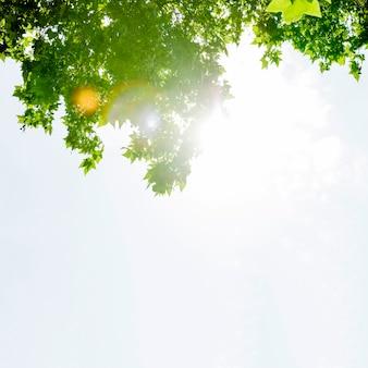 La luz del sol en el árbol de arce verde contra el cielo