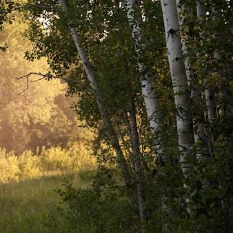 Luz del sol a través de los árboles en lake of the woods, ontario