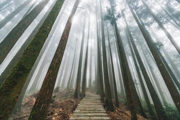 Luz solar directa a través de árboles con niebla en el bosque con escalera de piedra en alishan.