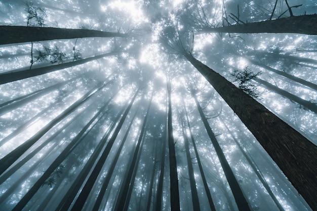Luz solar directa a través de pinos con niebla en el bosque en el área de recreación del bosque nacional alishan