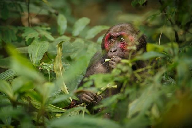 Macaco de cola muñón con una cara roja en la selva verde mono salvaje en la hermosa selva india