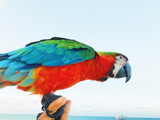 Macaw colorido se sienta en el brazo del hombre