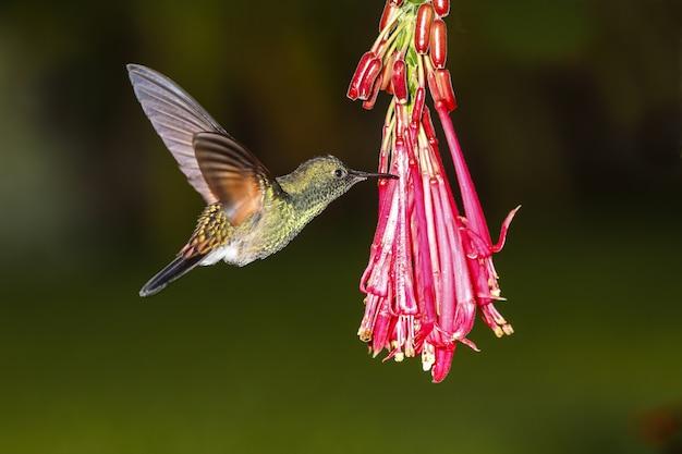 Macho colibrí cola rayada eupherusa eximia