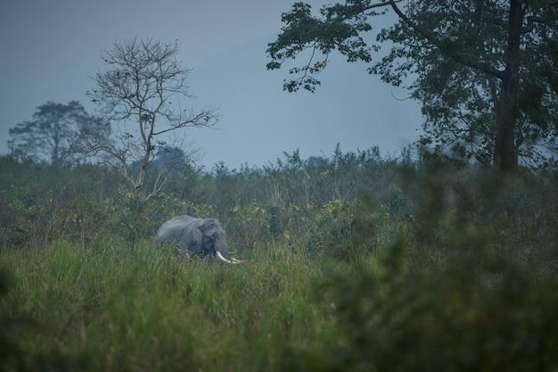 Macho de elefante indio salvaje con hábitat natural en el norte de la india