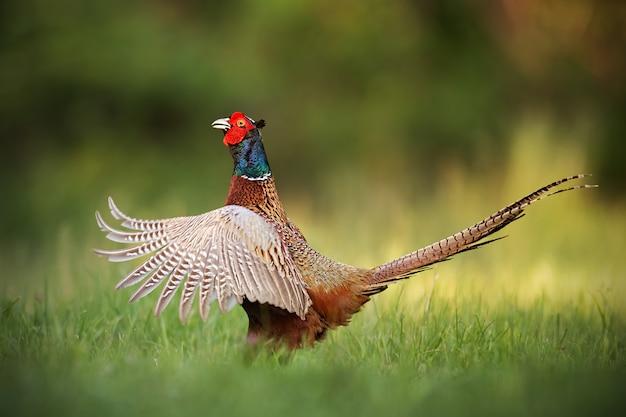 Macho faisán común, phasianus colchicus, mostrando gallo.
