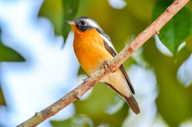 Un macho flycatcher mugimaki en una rama.