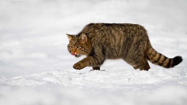 Macho gato montés europeo acicalarse en la nieve.