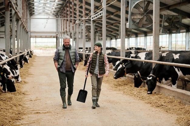 Macho maduro propietario de la granja de animales hablando con un adolescente y riendo mientras se mueve a lo largo del pasillo entre potreros con vacas de leche de raza pura