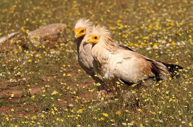 Machos y hembras adultos de buitre egipcio
