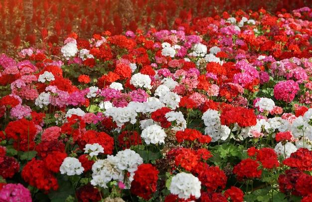 Macizo de flores con coloridas flores de geranios en los rayos del sol.