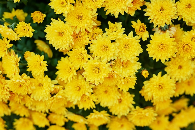 Macizo de flores de crisantemos amarillos