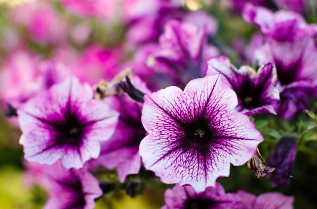 Macizo de flores con petunias multicolores / imagen llena de colorido