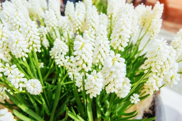 Macizos de flores con flores blancas muscari. mundo de la belleza.