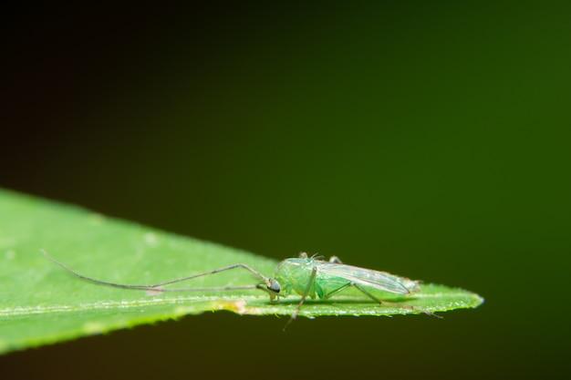 Macro chironomidae en hojas