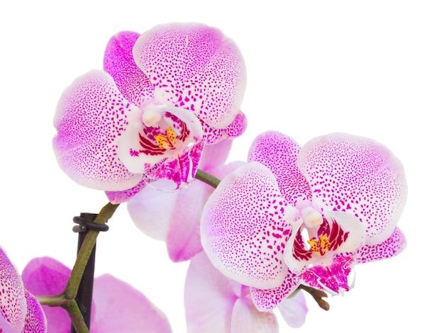 Macro de dos flores de orquídeas rosadas aislado sobre fondo blanco.