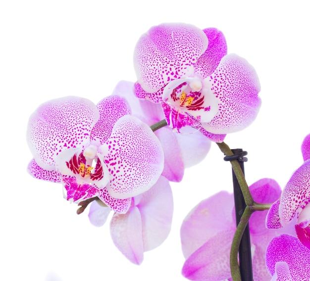 Macro de dos flores de orquídeas violetas aislado sobre fondo blanco.